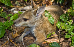 Little wallaby Stock Photography