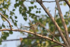 Little warbler Royalty Free Stock Images