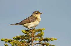 Little warbler Stock Images