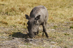Little Wart Hog royalty free stock photos