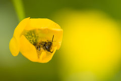 Little wasp fly on yellow flower Royalty Free Stock Photos