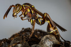 Little wasp. Protecting its nest Royalty Free Stock Photos