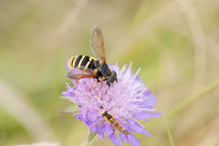 Little wasp on violet flower Stock Photo