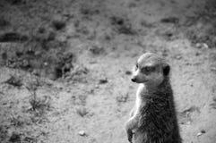 Little watchman. Meerkat (Suricata suricatta) - little watchman Royalty Free Stock Photos