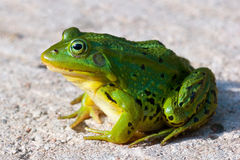 Little Water Frog. Frog sitting on concrete ground Royalty Free Stock Photography