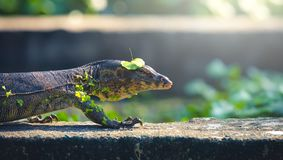 Little water monitor ; monitor lizard . royalty free stock photo