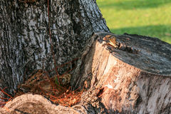 A Little Water monitor who called Varanus salvator is living in a tree hole Stock Photo