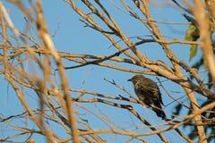 Little Wattle Bird, also called brush wattlebird, honeyeater per Stock Photography