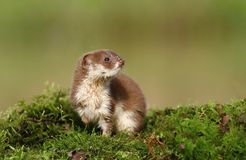 Little weasel Stock Images