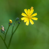 Little Weed. A close-up shot of a small yellow weed against a green lawn royalty free stock image