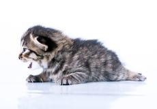Little 2 weeks old kitten Royalty Free Stock Image