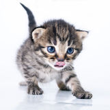 Little 2 weeks old kitten Royalty Free Stock Photo