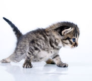 Little 2 weeks old kitten Royalty Free Stock Images