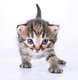 Little 2 weeks old kitten Stock Photography