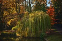 The little weeping willow. A little weeping willow in a park during the fall with some light of the sun royalty free stock image
