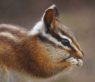 Little Western Chipmunk. A close up of a western chipmunk eating stock images