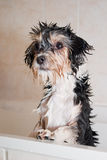 Little wet boomer dog in the bathtub Stock Photos