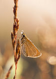 Little wet butterfly on a plant straw Royalty Free Stock Image