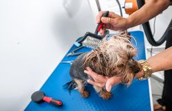Little wet cute and beautiful purebred Yorkshire Terrier dog enjoying in grooming with animal brush by groomer and cleaning after. Bathing in the pet spa stock images