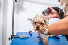 Little wet cute and beautiful purebred Yorkshire Terrier dog enjoying in grooming and cleaning after bathing in the pet spa.  stock image