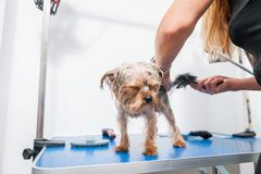 Little wet cute and beautiful purebred Yorkshire Terrier dog enjoying in grooming and cleaning after bathing in the pet spa.  royalty free stock photography