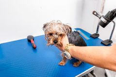 Little wet cute and beautiful purebred Yorkshire Terrier dog enjoying in grooming and cleaning after bathing in the pet spa royalty free stock photo