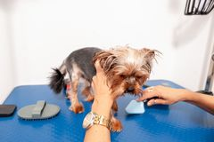 Little wet cute and beautiful purebred Yorkshire Terrier dog enjoying in grooming and cleaning of groomer after bathing in the pet. Spa royalty free stock image
