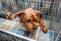 Little wet cute and beautiful purebred Yorkshire Terrier dog trying to escape from the bathtub because he don`t want to bath selec. Dog bath, Little wet cute and stock images