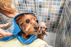 Little wet cute and beautiful purebred Yorkshire Terrier dog wrapped in a towel in the bathtub after bathing selective focus.  stock photography