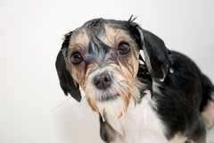 Little wet dog Royalty Free Stock Image