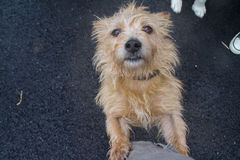 A little wet dog that wants love!. Cute little dog met in country-yard Stock Image
