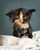 Little wet kitten after bathing on blue background Royalty Free Stock Photo