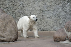 Little wet polar bear Stock Photos