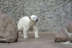 Little wet polar bear Stock Photos