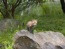 Little Wet Red Fox Stock Photography