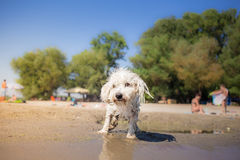 Little wet white dog Royalty Free Stock Photo