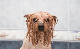 Little wet Yorkshire terrier after the bath Stock Photo