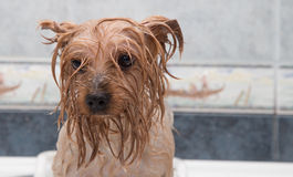 Little wet Yorkshire terrier after the bath Royalty Free Stock Image