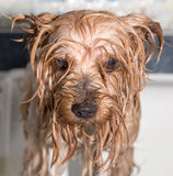 Little wet Yorkshire terrier after the bath Stock Photos