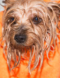 Little wet Yorkshire terrier with orange towel Stock Images
