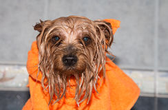 Little wet Yorkshire terrier with orange towel Royalty Free Stock Images