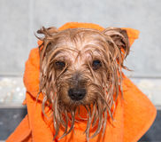 Little wet Yorkshire terrier with orange towel Royalty Free Stock Photos