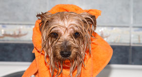 Little wet Yorkshire terrier with orange towel Stock Photo