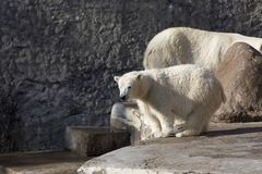 The little white bear. In the zoo royalty free stock photography