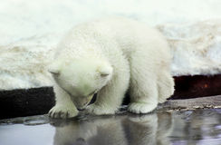 Little White Bear saw his reflection. The small white bear cub has seen for the first time the reflection in water Royalty Free Stock Images