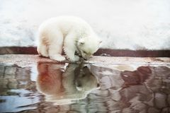 Little White Bear saw his reflection Stock Photography