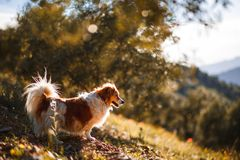 Little white and brown dog on a field with flowers and landscape royalty free stock image