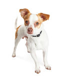 Little White and Brown Dog Looking Forward Stock Image