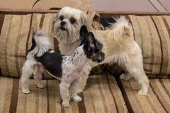 Dwarf dog. Trained dog. Soft focus. Little white-brown Shih Tzu dog. Trained dog. Soft focus stock photo