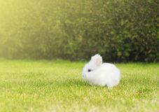 Little white bunny on lawn in garden Royalty Free Stock Photography